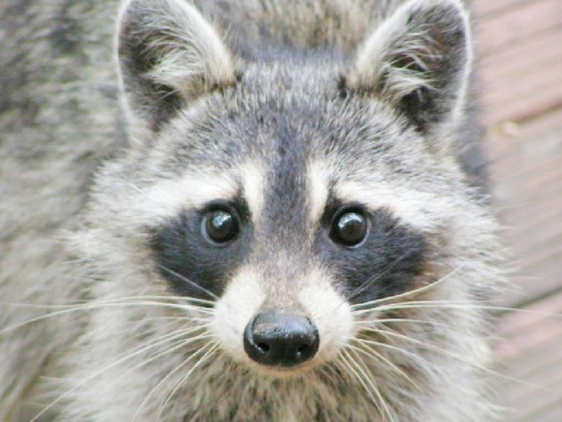Another case of raccoon rabies reported