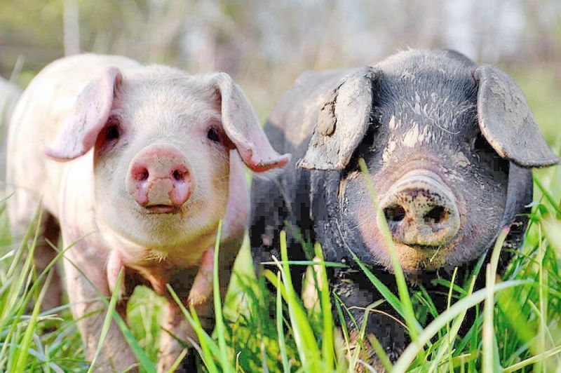 County pork producers to award $500 scholarships